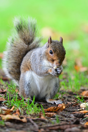 Portrait of a grey squirrel eating a nut Stok Fotoğraf