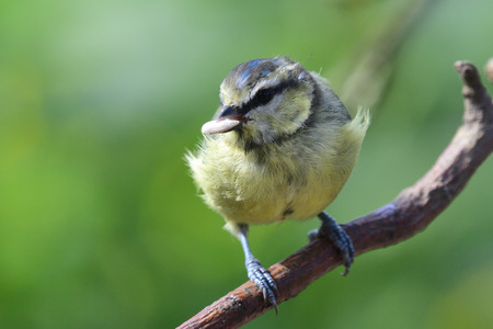 Portrait of a Eurasian bluetit (cyanistes caeruleus) perching on a branch with a sunflower seed in its beak Reklamní fotografie
