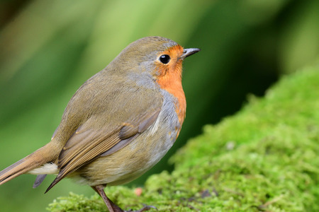 Portrait of a European robin (erithacus rubecula) perching on a branch