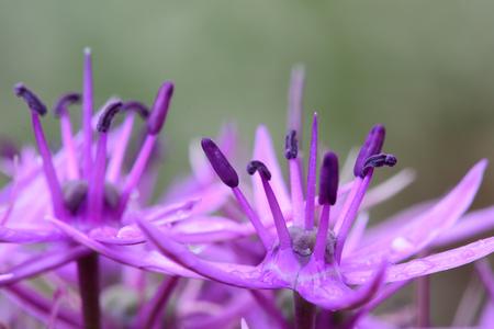 Macro shot of an allium flower
