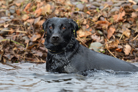 Portrait of a young black Labrador standing in a river