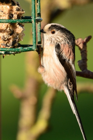 Portrait of a long tailed tit (aegithalos caudatus) feeding on  bird feeder
