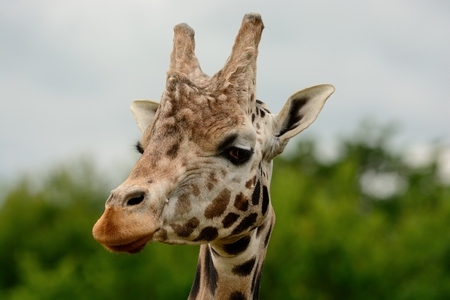 Head shot of a Rothschild's giraffe (giraffa cameloparalis rothschildi) 免版税图像