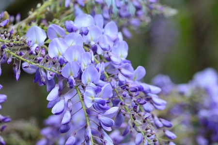 Close up of wisteria flowers in bloom Banque d'images