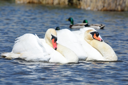 Two mute swans in the water performing a courting ritual