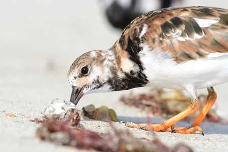 Portrait of a ruddy turnstone eating a fish on the beach