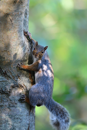 Portrait of a grey squirrel climbing a tree