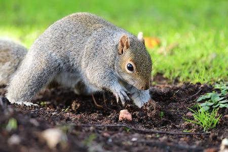 Porträt eines grauen Eichhörnchens, das im Garten gräbt Standard-Bild