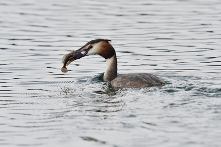 Portrait of a great crested grebe (podiceps cristatus) swimming in the water with a fish in its mouth