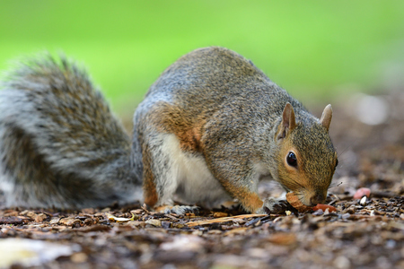 Low angle view of a grey squirrel foraging on the ground 免版税图像