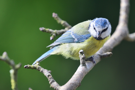 Close up of a Eurasian bluetit (cyanistes caeruleus) perching on a branch