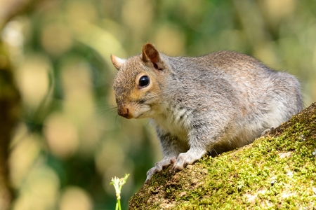 Portrait of a gray squirrel sitting in a tree 免版税图像