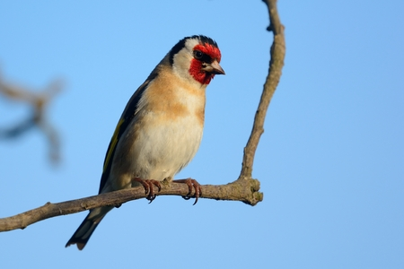 Portrait of a European goldfinch (carduelis carduelis) perching on a branch 免版税图像