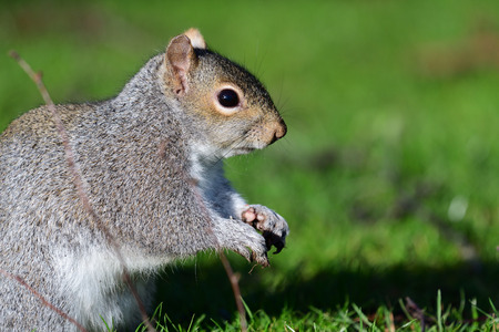 Close up portrait of a gray squirrel 免版税图像
