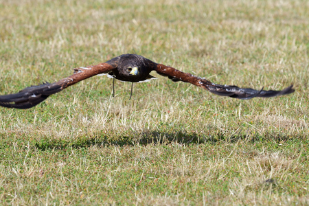 Portrait of a Harris's hawk (parabuteo unicinctus) in flight 免版税图像
