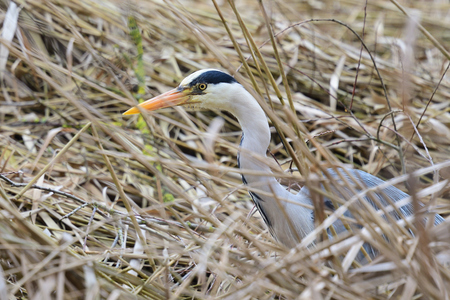 Close up of a grey heron (ardea cinerea) hiding in a reed bed