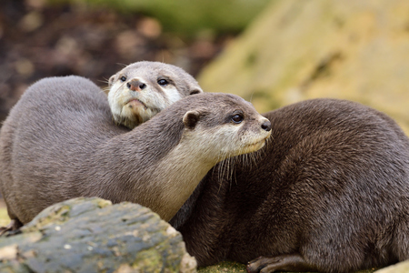 Close up portrait of two Asian small clawed otters cuddling Reklamní fotografie