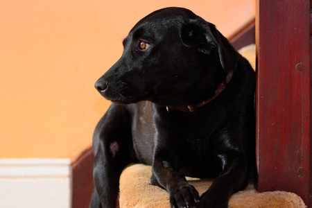 Portrait of a cute black Labrador laying at the bottom of the stairs Imagens