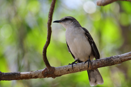 Portrait of a tropical mocking bird perching in a tree Stock Photo