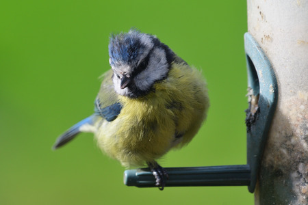 Portrait of a Eurasian bluetit (cyanistes caeruleus) perching on a bird feeder 写真素材