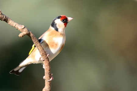 Portrait of a European goldfinch (carduelis carduelis) perching on a branch Banco de Imagens