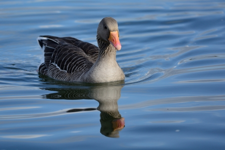 Close up of a greylag goose (anser anser) swimming in the water
