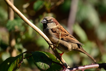 Close up of a male sparrow (passer domesticus) perching on a branch