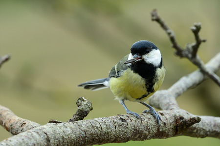 Portrait of a great tit (parus major) perching on a branch with a sunflower seed in it's beak