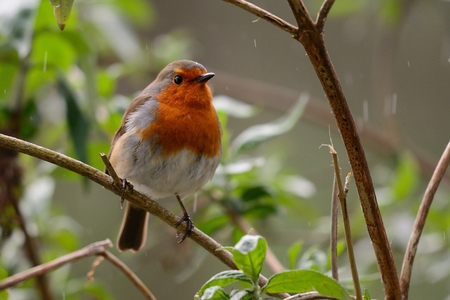 Close up of a European robin (erithacus rubecula) perching in a tree on a rainy day Stock Photo