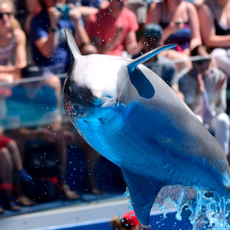 Close up of a dolphin jumping out of the water during a dolphin show