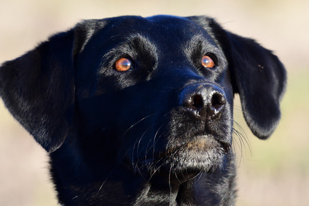 Head shot of a cute black Labrador Stock Photo