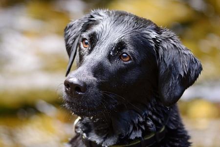 Head shot of a wet black Labrador Stock Photo