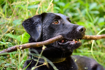 Close up portrait of a wet black Labrador sitting in the grass with a stick in it's mouth Stock Photo