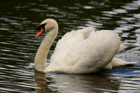 Portrait of mute swan swimming in the water (cygnus olor)