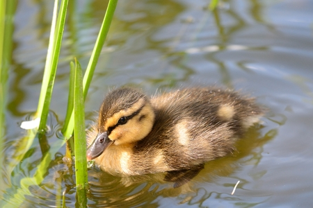 Close up of a mallard duckling (anas platyrhynchos) swimming in the water