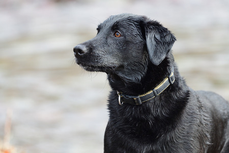 Head shot of a wet black Labrador with out of focus water in the background