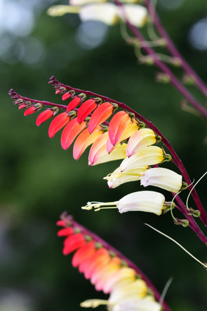 Close up of a fire vine (ipomoea lobata) flowers in bloom