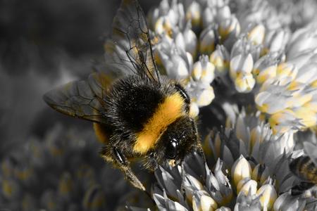 Colorsplash of a bumble bee on a sedum flower Banco de Imagens