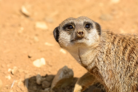 Close up portrait of a meerkat (suricata suricatta) looking at the camera Stock Photo