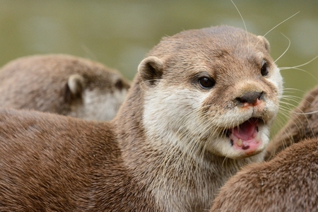 Head shot of an Asian small clawed otter (aonyx cinerea)