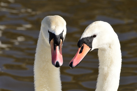 Head shot of two mute swans (cygnus olor) performing a courting ritual Stock Photo