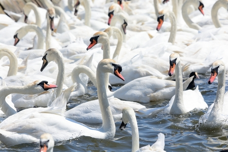 Mute swans (cygnus olor) in the water