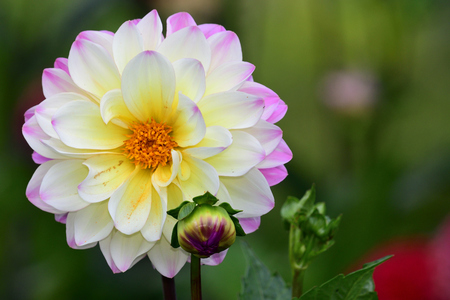 Close up of a pink and white dahlia in the garden