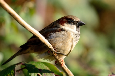 Close up of a male sparrow (passer domesticus) perching on a branch 免版税图像 - 110697447