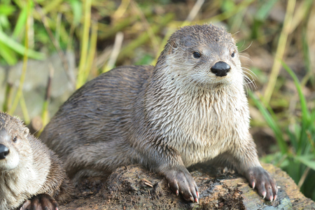 Portrait of an Asian small clawed otter (aonyx cinerea) sitting on a log