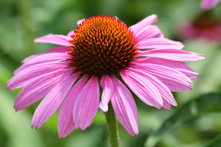 Close up of a pink echinacea flower in bloom Stock Photo