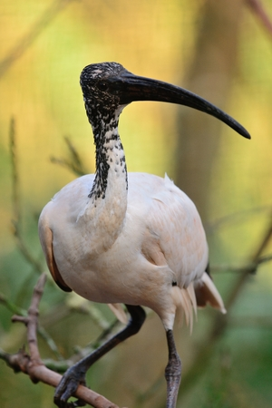 Portrait of an ibis perching on  a branch