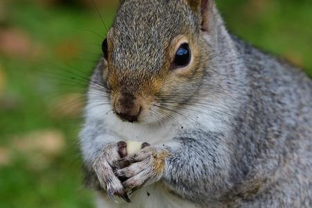 Close up portrait of a grey squirrel (sciurus carolinensis) eating a nut Imagens