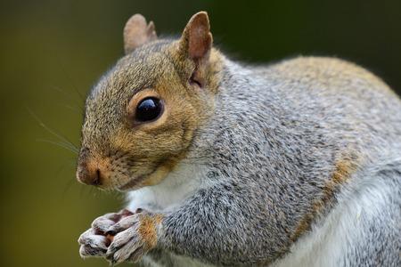 Close up portrait of a grey squirrel (sciurus carolinensis) eating a nut Imagens - 115665694