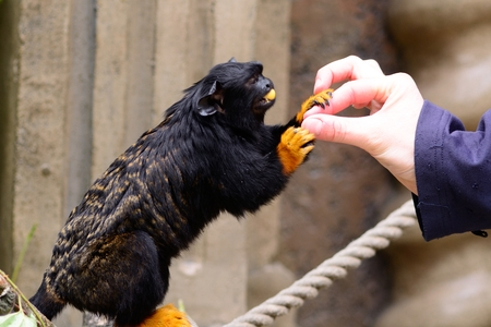 Close up of a red handed tamarin (saguinus midas) being hand fed in a zoo